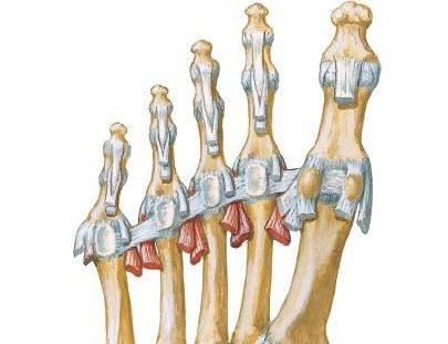横中足靭帯